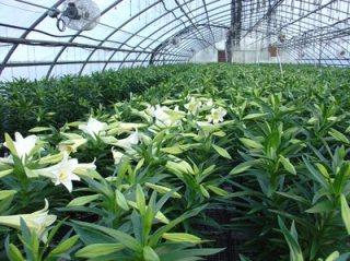 Budidaya Bunga Lily