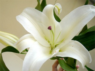 Bunga Casa Lily
