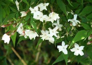 Bunga Melati Indah
